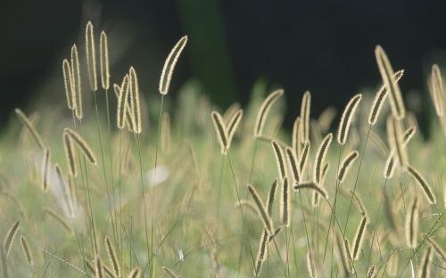 Bristle_grass