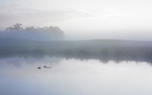 Ducks_on_a_misty_pond